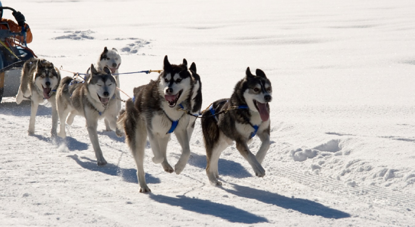 huskey-dogs